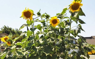 Life Lessons from a Sunflower